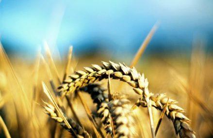 Rusia îşi întăreşte dominaţia pe piaţa mondială a grâului