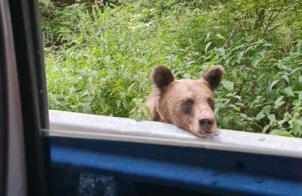 VIDEO&FOTO Drumuri naționale din România, împânzite cu urși, care stau pe margine precum câinii de companie